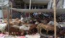 كبش العيد يقسم ظهور المواطنين في عدن